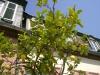 Agrumen-vor-der-Orangerie